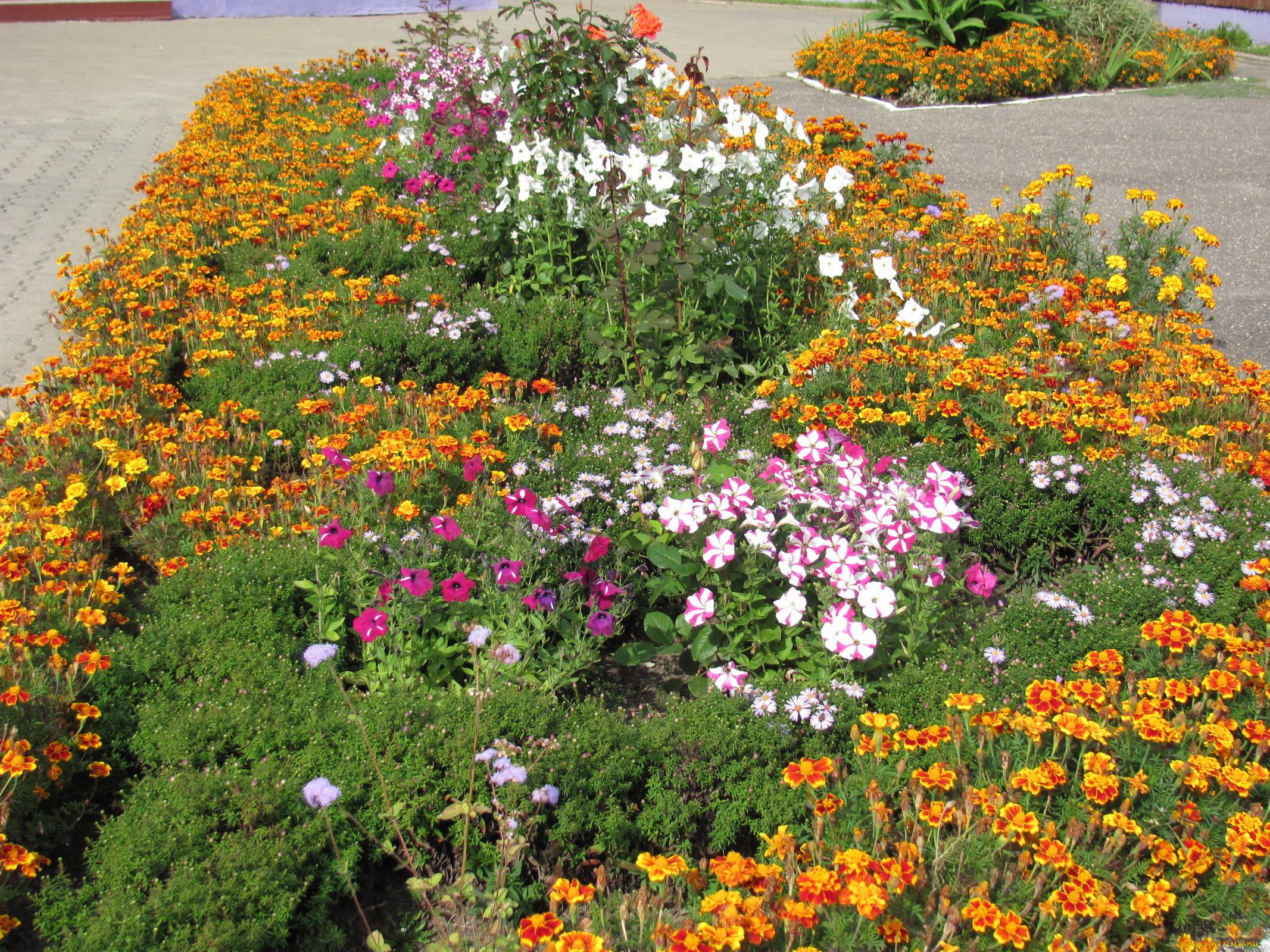 Клумба с цветами петунии и бархатцев фото